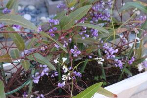 大磯落語茶屋のお花こでまり