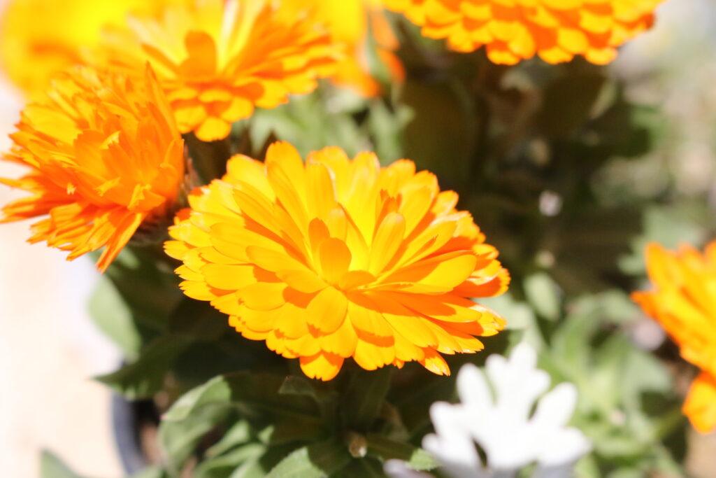 大磯落語茶屋のお花